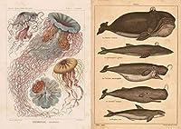 複製 ヘッケルのクラゲ + クジラ A1ポスター2枚組