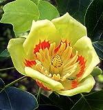 Di solito ci vuole circa 1-4 settimane di tempo per consegnare dopo che l'oggetto è stato spedito. Si prega di controllare il tempo di consegna prima di effettuare gli acquisti. Liriodendron tulipifera - Liriodendro - Semi (10)
