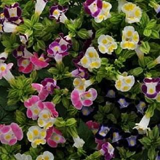 200 Torenia Seeds Kauai Mix Pelleted Seeds Bulk Seeds Flowers