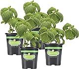 Bonnie Plants Sweet Basil (Genovese) Live Herb Plants - 4 Pack, Warm Season Annual, Italian & Asian Dishes
