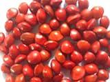 Sandalo Albero rosso Adenanthera Pavonina esotiche rare rossa perline di legno saga 15 semi