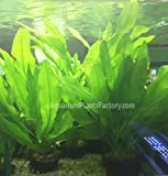 AquariumPlantsFactory - Ruffled Amazon Sword Potted (Echinodorus Martii...