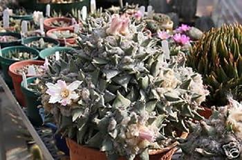 Détails sur Ariocarpus retusus, exotiques rares graines de cactus cactus rock vivant désert 10 GRAINES