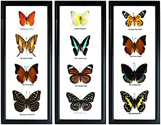 Thai Productz Set 3 x 4 Real Butterfly Display Taxidermy in Vertical Frame for Collectible Gift