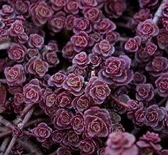 100 Sedum Purple Carpet seeds Deep Rose Pink Flowering succulent CombSH