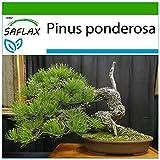 SAFLAX - Pino amarillo occidental - 20 semillas - Con sustrato estéril para cultivo - Pinus ponderosa