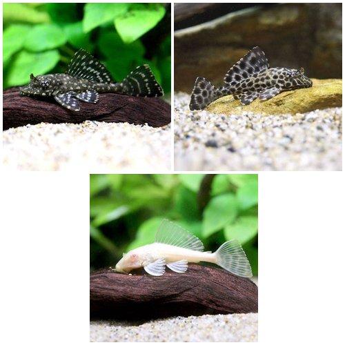 (熱帯魚)セルフィンプレコ3種セット(3匹)(各1匹) 本州・四国限定[生体]