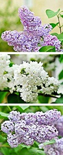 Banner - Thema: Frühling / Sommer - Flieder - 180cmx75cm - zum Hängen & Dekorieren
