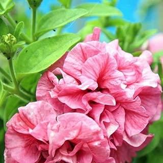 Petunia Double Cascade Pink Flower Seeds (Petunia x hybrida) 40+Seeds
