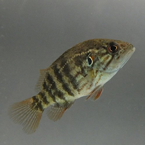 【生体】オヤニラミ 1匹 Mサイズ 約4cm~6cm 淡水魚 肉食 emuwai