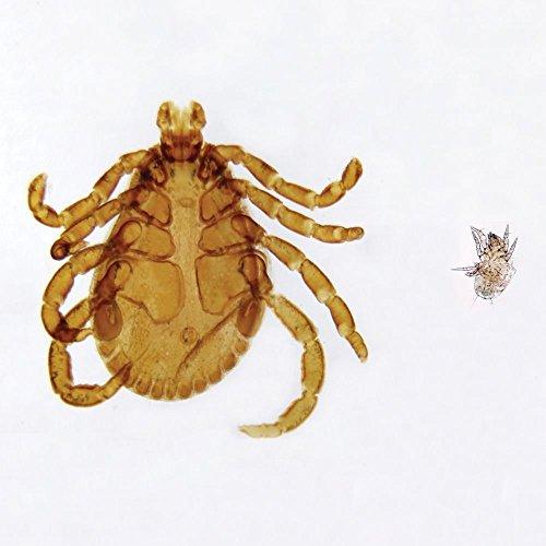 Tick and Mite, w.m. Microscope Slide