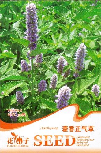 30 Gianthyssop Agastache suspensa Graines bio, de haute qualité, non traité Herb Seed Bricolage Jardin E011
