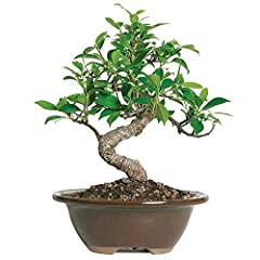 CONTENTS: Bonsai, Decorative Container (Assorted Colors & Styles), Soil, Care Instructions. SPECIES: In the ficus family, the Golden Gate variety is the best for growing indoors. The attractive gray trunk is thick and sturdy topped by small, dark gre...