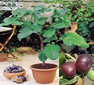 SVI 10 Rare Sweet Common fig Fruit Fresh Tree Seeds, fig 'Brown Turkey' Flavor Sweet