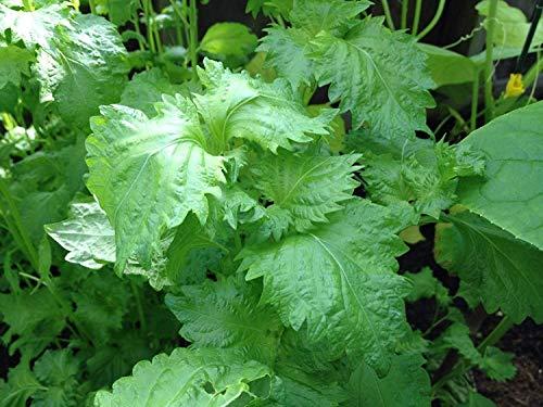 Las Semillas de germinación: 100 Verde Shiso Perilla frutescens japoneses Semillas de albahaca orgánicos