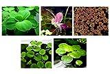 30 plantas flotantes para acuario en vivo (estanque) / 5 tipos diferentes - lechuga de agua, rana amazónica, musgo de hada, hierba gigante y lentejuelas de agua