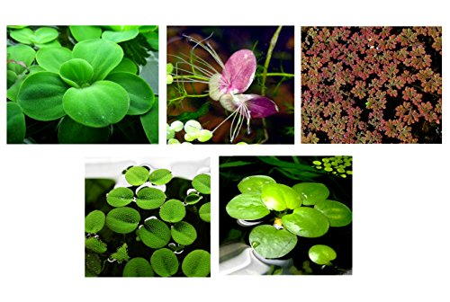 25superficie/Live Acuario (estanque flotante) Plantas/6diferentes tipos–Lechuga de agua, Rojo raíz Floaters, Amazon Frogbit, Hada Moss, gigante duckweed, lentejuelas de agua.