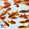 Toledo Goldfish Live Comet Common Feeder Goldfish for Ponds, Aquariums or Tanks – USA Born and Raised – Live Arrival Guarantee