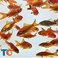 Toledo Goldfish Live Comet Common Feeder Goldfish for Ponds, Aquariums or Tanks ? USA Born and Raised ? Live Arrival Guarantee