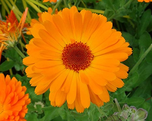 Asklepios-seeds® - 500 Semi di -Calendula officinalis, officinarum