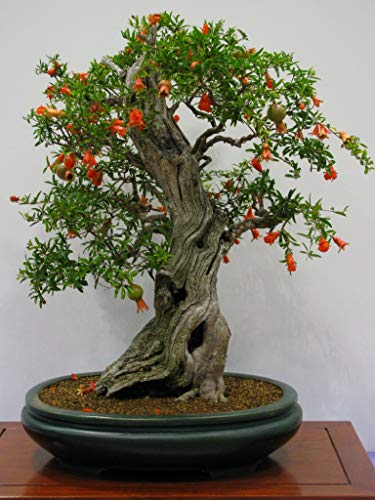 Pomegranate Bonsai Seeds - 20 Seeds to Grow - Highly Prized Edible Fruit - Made in USA, Ships from Iowa