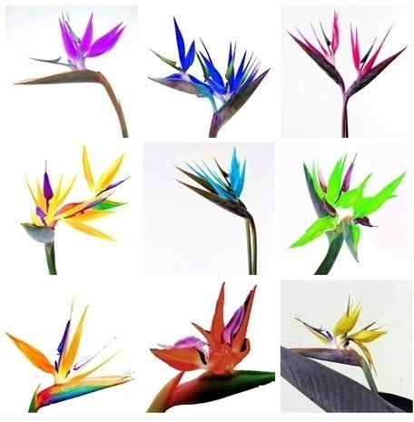 graines fleur mixtes oiseaux de paradis strelitzia lot de 10 graines