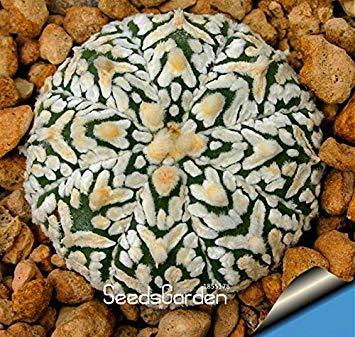 Zeitlimit!!Sukkulenten Samen Echinopsis tubiflora, Kaktussamen, seltener Blumenkaktus, ca. 100 Stück/Packung, 2QEBZE