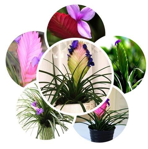Grande vendita 100pcs / lot semi Tillandsia, seme in vaso, semi di fiori, varietà completa, il tasso di erba 95% giardino di casa shippin libero