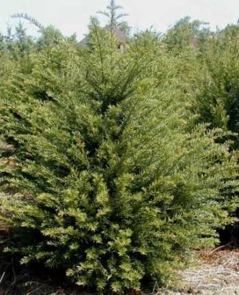 Heimische Eibe Taxus baccata 80-100 cm...