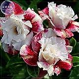 Bellfarm blanco lechoso y de color rojo oscuro Adenium del jardín de flores Semillas (sin suelo), 2 piezas, de 5 capas dobles pétalos de rosa del desierto grandes floraciones