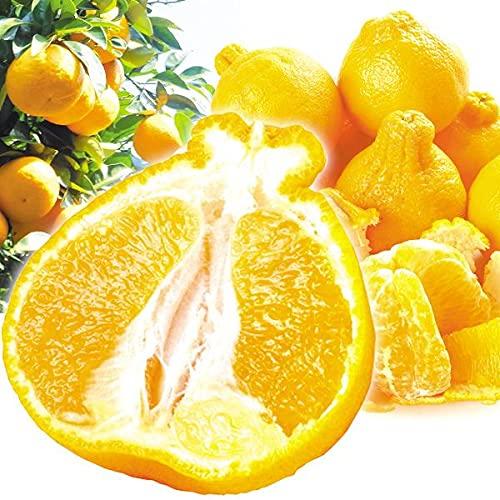 国華園 みかん 熊本産 ご家庭用 不知火オレンジ 10�s 1箱 食品