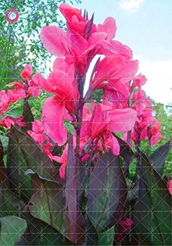 Pinkdose 5 stücke Canna Flower Canna indica schöne bonsai blumen für hausgarten mehrjährige im freien blühende topfpflanzen: 4.
