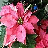 50 Samen / pack Poinsettia Samen, Euphorbia pulcherrima, Topfpflanzen, seltene Blütenpflanzen Samen für hjome Dekoration