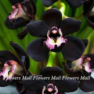 Semillas negro de la flor del Cymbidium 150pcs plantas de floración únicas de la orquídea en Casa y Jardín Bonsai Planta d...