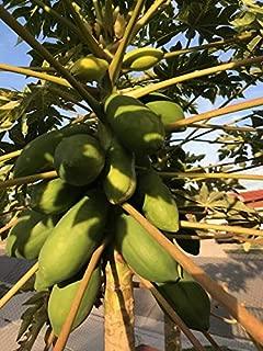 25/50/100 Taiwan Papaya Tree Seeds High Germination Best Organic Sweet Fruits (100)