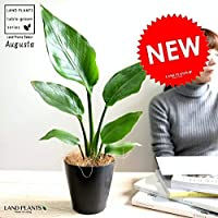LAND PLANTS 観葉植物 オーガスタ 4号 黒色 プラスチック鉢 鉢植え 丸