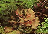 Stern-Seerose / Nymphaea nouchali 'Sri Lanka' / Nymphea Stellata - Wasserpflanzen für Aquarien