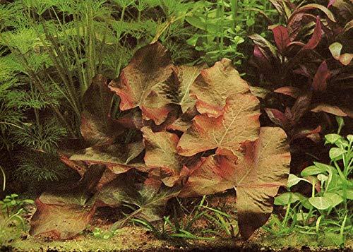 "Stern-Seerose Nymphaea nouchali ""Sri Lanka"" Nymphea Stellata"