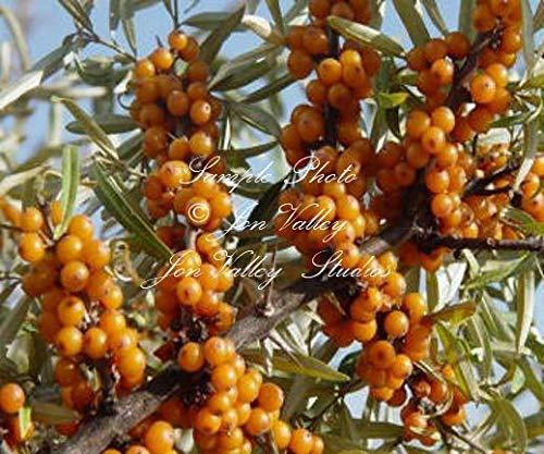 ScoutSeed Sanddornbaum 25 Samen!robuster Strauch Große Bonsai!Hippophae Rhamnoides