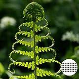 Oce180anYLVUK Farnsamen, Blumen, Rasensamen 50 Stück Beutel Farnsamen Vital Prolific Stauden Bonsai Gemüsesämlinge Samen