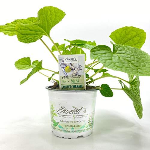 Echte Wasabi Pflanze, Echter Wasabi, Japanischer Meerrettich, Winterhart !