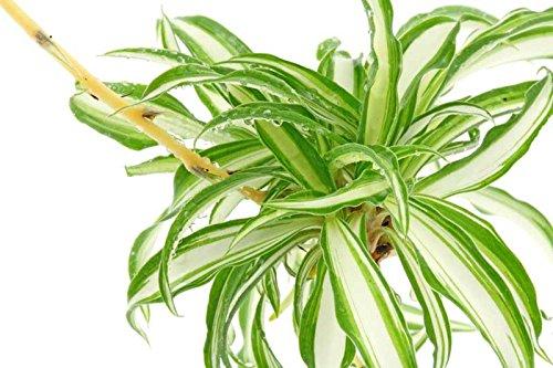 Nelsea Gardening Live Variegated Spider Plant Indoor Plant