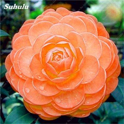 Grosses soldes! 10 Pcs Camellia Graines, Graines Bonsai Fleur, couleur rare, bonsaïs d'intérieur / extérieur Plante en pot pour jardin Facile à cultiver 19