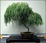 Bonsai Dwarf Weeping Willow Tree - Thick Trunk Cutting - Indoor/Outdoor Live Bonsai Tree - Old Mature Look Fast - Ships from Iowa, USA