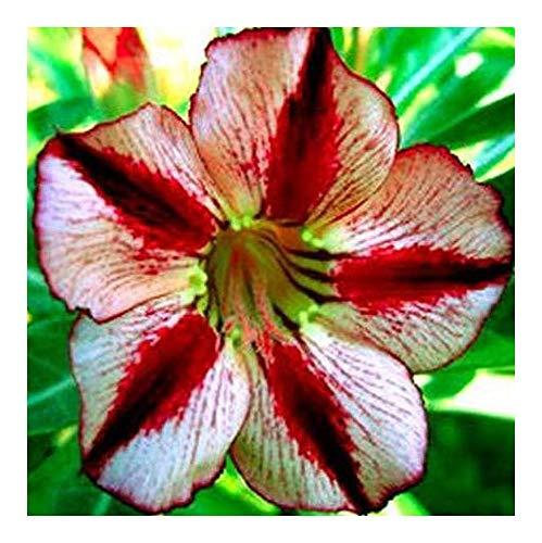 Adenium obesum Bondyred - Rose du désert - Faux baobab - 2 graines