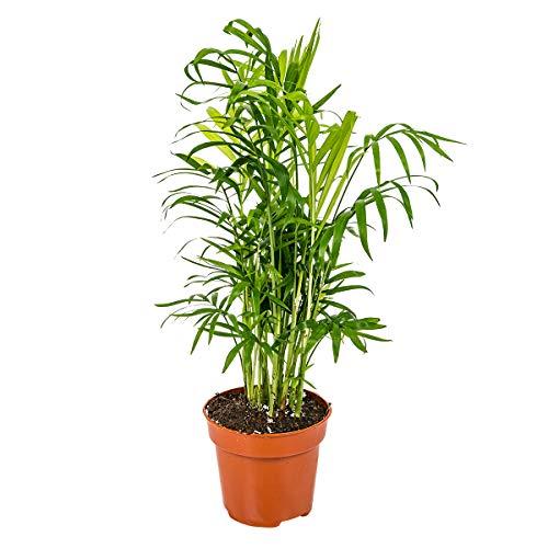 Chamaedorea 'Elegans' pro Stück | Mexikanische Zwergpalme - Zimmerpflanze im Aufzuchttopf ⌀12 cm - 40 cm