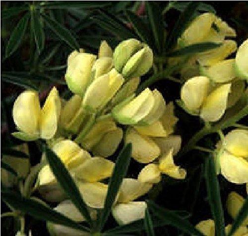Il vous suffit de graines de fleurs???Lupin???Lupin???Arboreus Jaune???50?graines???Gros Lot