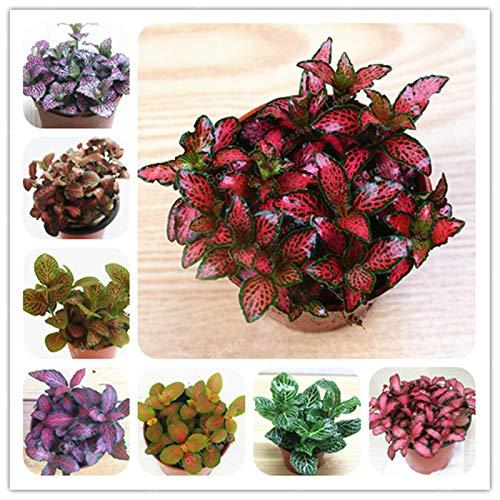 Multicolore: Svi Nuova 100 Pz Fittonia semi Verschaffeltii impianto per la facile da coltivare multicolore