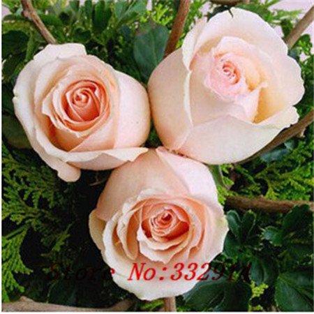 .100pcs12 Couleurs chinoises ont augmenté de graines de fleurs graines bonsaï fournitures de jardin à la maison. Une rose