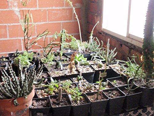 8 graines/Pack, Mini graines de papaye bonsaï arbres fruitiers en pot nutrition bio, graines de papaye